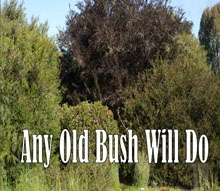 Any Old Bush Will Do